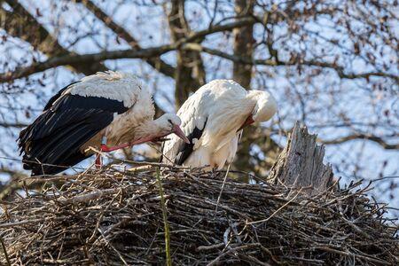 nesting: Springtime and white storks (Ciconia ciconia).
