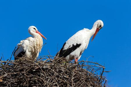 Springtime and white storks (Ciconia ciconia).