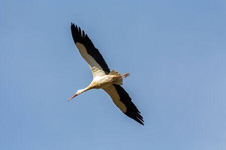 White stork in the air, springtime. Switzerland.