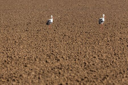 Two White Storks on a field. Stock Photo