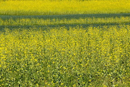 Fields of blooming Rapeseed. Stock Photo