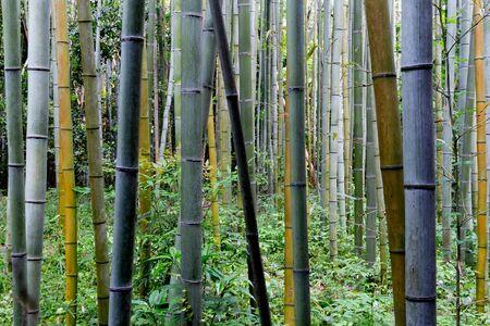 Bamboo forest in Arashiyama, Kyoto, Japan.