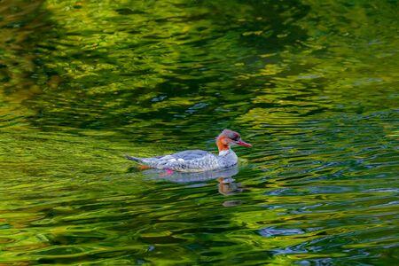 Comon goosander  (Mergus merganser), swimming in the lake.