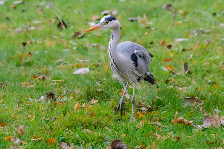 Adult Grey Heron standing in the field. Stock Photo