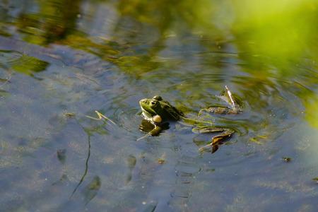 Edible frog, Pelophylax kl. esculentus. Stock Photo