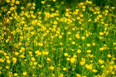 Small yellow wildflowers on spring meadow. Stock Photo
