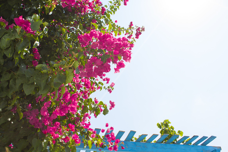 Bougainvillea on Greek island Santorini, village Oia Stock Photo