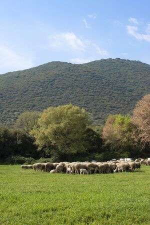 Flock of Staring Sheep at mount Olympus meadow nature,Greece.