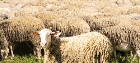 Group of sheeps background
