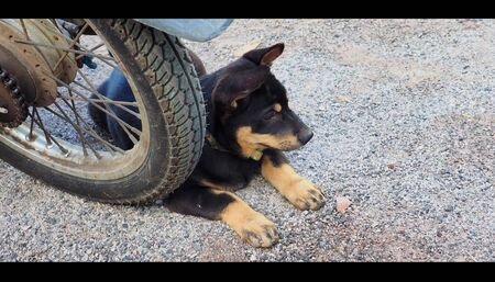mischievous: Cute little puppy sitting on Wheels Motorcycle old. Look for something with intelligent eyes and a mischievous youth are learning.