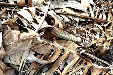 pile of leaves: A pile of dried banana leaves