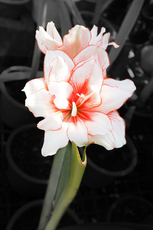 aphrodite: Aphrodite single flower in plant for sale photography out is monotone want to focus at the flower color only. Stock Photo