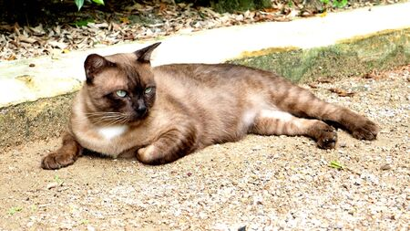 roan: Thai Roan cat relax on the sand street.