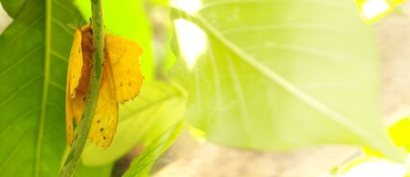 adhere: Butterfly yellow color macro photo, he on the tree and graphic fade to soft blur have space for your word.