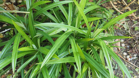 Pandan leaves in my small plant for cook and beverage healh care.