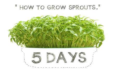 Grow sprouts 5 days from green beans seed small plant at home for your clean food, Photo font view and isolate white background has pencil hand draw dash-shaped bowl.