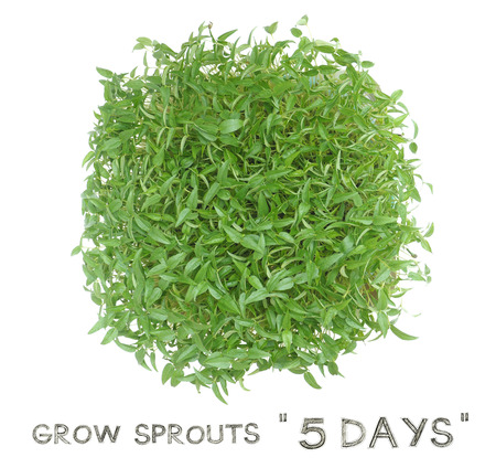 Grow sprouts 5 days from green beans seed small plant at home for your clean food, Photo top view and isolate white background has pencil hand draw English font. Stock Photo