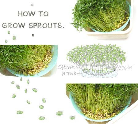 attainment: Grow sprouts 5 days from green beans seed small plant at home for your clean food, Photo font view and isolate white background has pencil hand draw cartoon cute see detail .