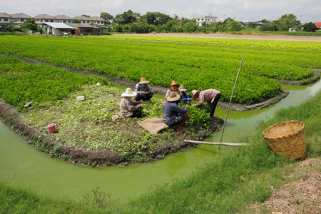 Thail gardener family working to keeping celery agricultural planting at Bangbuathong, Nonthaburi Thailand 8 April 2017, 10:29 am.