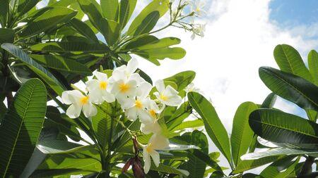 Panicle Plumaria flower, Frungipani, Temple tree or pagoda on foreground. Stock Photo
