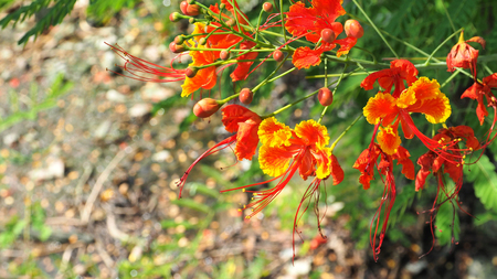 Panicle of Caesalpinia pulcherrima red and yellow flower background blur, in Thailand.
