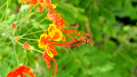 Panicle ofCaesalpinia pulcherrima red and yellow flower background blur, in Thailand.