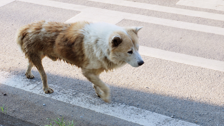 Arctic wolf mix street dog brown and white color walking alone on the road alone in Bangbuathong Thailand, Has copy space, Photo speed shutter focus select at head.