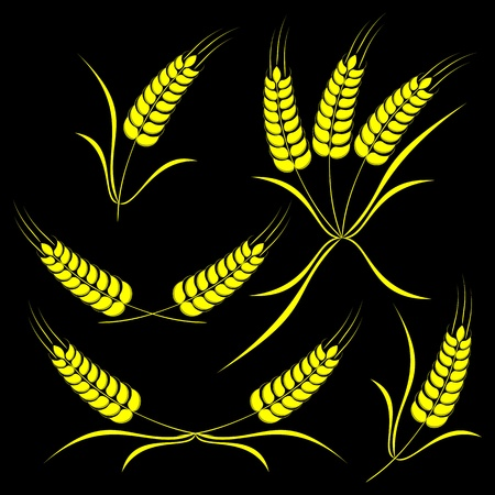 Set of the isolated ears of wheat on a black background. Vector