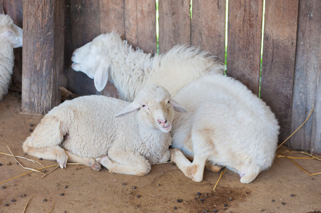 sheep in fold photo