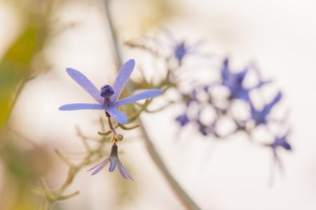 petrea: queen s wreath vine flower  purple wreath flower,sandpaper vine flower,Petrea volubilis  Linn   Stock Photo