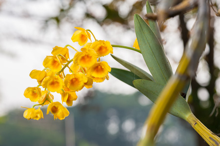 Yellow Orchid, Dendrobium lindleyi on tree. photo
