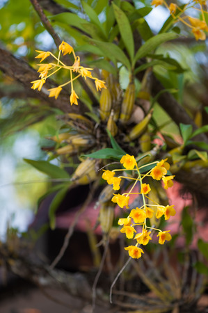 Yellow Orchid, Dendrobium lindleyi on tree  photo