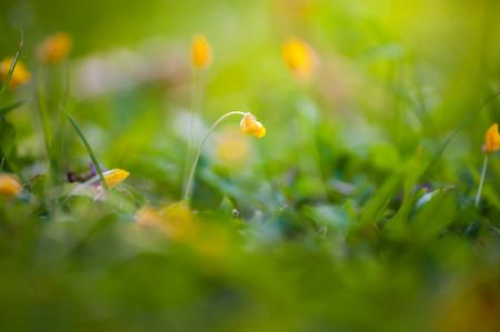 arachis: Small yellow flower, Arachis pintoi Stock Photo