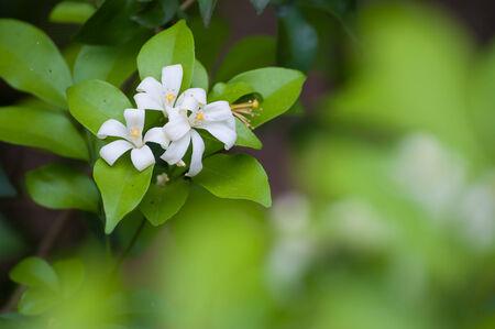 jessamine: Fiori bianchi chiamati Arancione Jessamine, Raso-legno, Cosmetic Corteccia di albero Murraya paniculata Archivio Fotografico