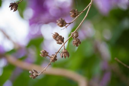 Lagerstroemia floribunda, flowers in summer time. photo