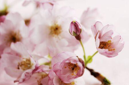 flor cerezo: rosa japonesa de cerezos en flor, atenci�n selectiva