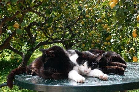 snuggling: Three Cats Snuggling Together on A Table Surrounded By Lemon Trees Stock Photo