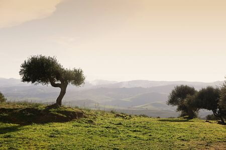 Sicilian landscape with olive tree