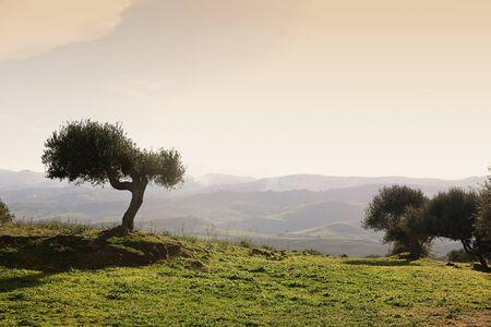 Zeytin ağacı ile Sicilya manzara