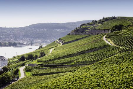 Rheingau Riesling Vineyards near the Niederwalddenkmal Stock Photo