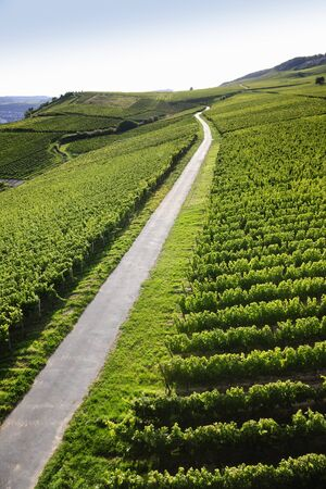 walking path: Walking path in Rheingau Riesling Vineyards near the Niederwalddenkmal