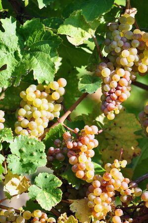 overripe: Overripe grapes on old vines Stock Photo