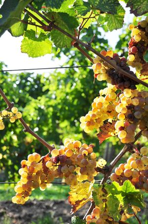overripe: Overripe grapes on old vines Stock Photo