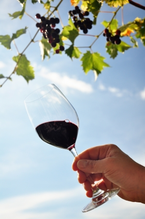 Silhouette of a hand holding a glass of red wine, back-light; grapes in the background Stock Photo