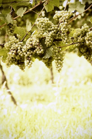 Ripe white Riesling grapes