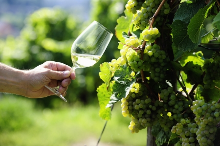 wine and food: Glass of white Wine (Riesling) and riesling grapes