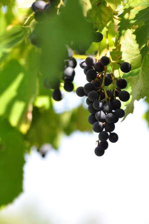 Wine grapes, selective focus, copyspace Stock Photo