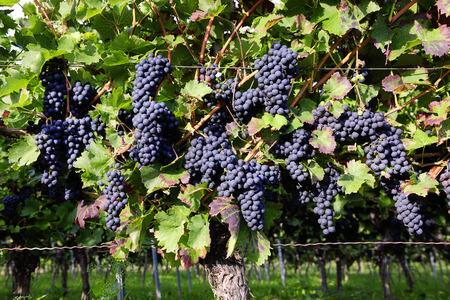 pinot noir: Pinot Noir Grapes in Rheinhessen, Germany; selective focus