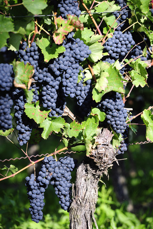 pinot: Pinot Noir Grapes in Rheinhessen, Germany; selective focus