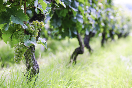 Riesling Vineyard in Germany, selective focus Stock Photo